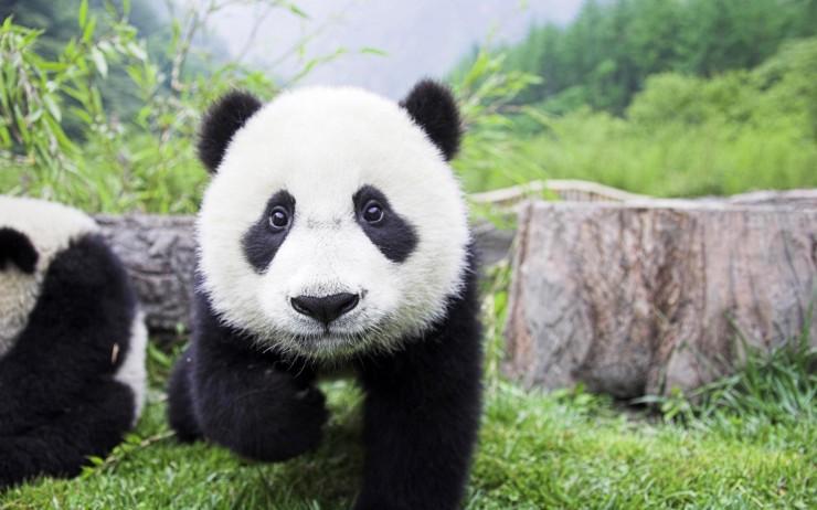 Awesome-Panda-Wallpapers